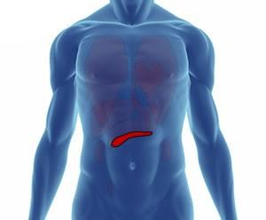 pankreas nerede bulunur