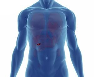 insan vücudu organları ve görevleri
