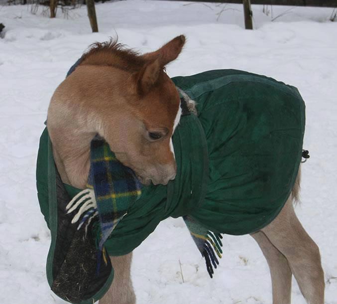 Atları soğuktan koruyan keçeden üstlük