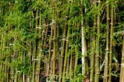bambu-agaci