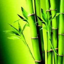 bambu-nedir-ozellikleri-nelerdir