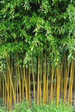 bambu-ozellikleri