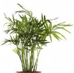 bambu-yetistirme