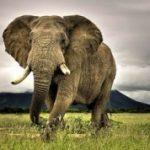 fil ağırlık
