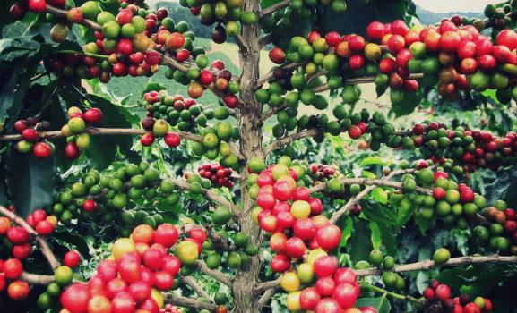 farenza santa ines kahvesi 577x350 Dünyadaki En Pahalı 10 Kahve