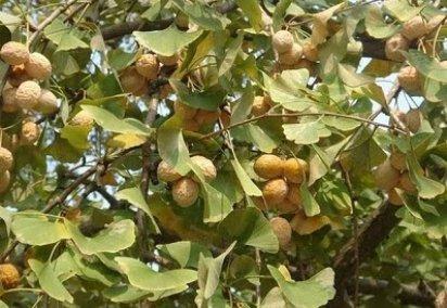kakule bitkisi