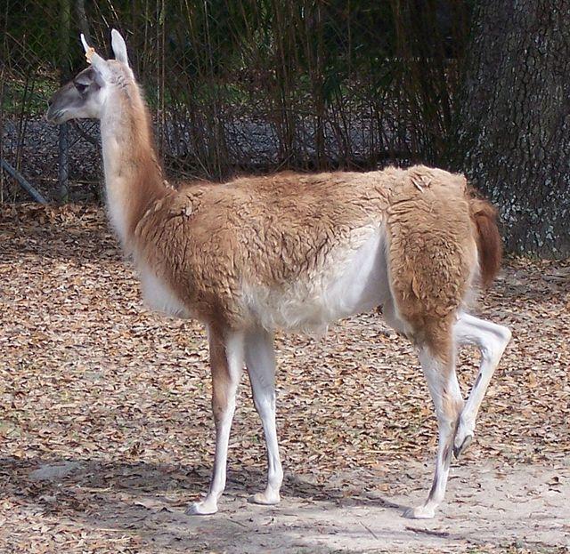 px Lama guanicoe