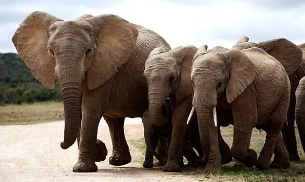Filin ağırlığı ne kadardır, filin ne kadar yaşar?