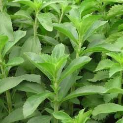 stevia-bitkisinin-yararlari