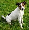 Parson Russell Terrier.jpg